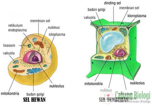 Perbedaan Struktur Sel Tumbuhan dan Hewan