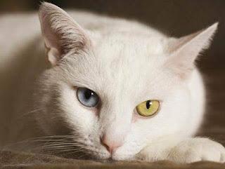 muezza kucing angora nabi muhammad