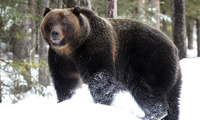 «Такого не было никогда, медведи голодают». Опасные медведи-шатуны могут появиться этой зимой в Карелии