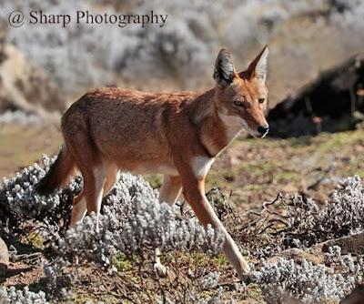 Canis simensis atau serigala Etopia
