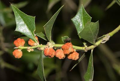arboles de Argentina Sombra de toro Jodina rhombifolia