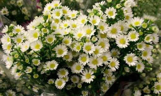 As flores possuem pétalas roxas, cor-de-rosa, branca, vermelha e outras, o centro é amarelo e saliente, muito parecidas com margaridas. Elas Atraem abelhas e borboletas, e são cultivadas também como flor de corte. É interessante podá-las planta após a florada.