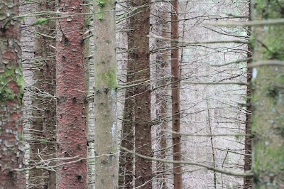Example of Black Forest trees near Schonwald
