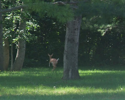 baby deer, fawn, running, in the woods