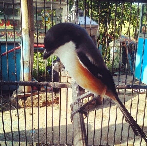Burung pentet termasuk ke dalam jenis burung predator yang jumlahnya di alam cukup banyak  Tips Jitu Memilih Burung Pentet Berkualitas