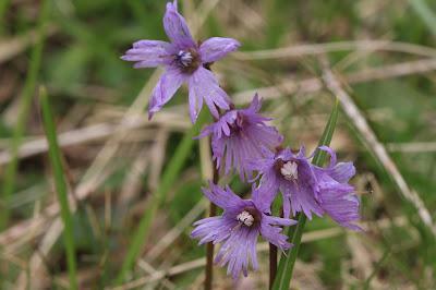[Primulaceae] Soldanella alpina