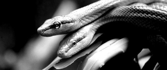 """""""Come fanno sesso i serpenti? Estenuanti corteggiamenti (in cui è sempre la femmina a decidere), docce di feromoni, orge e cannibalismo finale: nuove rivelazioni sui rituali di accoppiamento dei rettili."""" Uno pensava di metterci un cuoricino sorridente con le corna in versione 8 bit ma, poi, cerca """"amore fotte sesso"""" su Google e si imbatte in questa immagine che fa un po' """"Craccracriccrecr"""" e un po' """"Accetta il coniglio"""" di Elio e le Storie Tese. Figata, fra l'altro, le modalità di accoppiamento fra i serpenti. Eccezion fatta per le orge e l'""""estenuante"""" accanto al corteggiamento (mi estenuo già di mio), sottoscriverei in toto. Soprattutto per il cannibalismo finale. Dopo aver letto questo interessantissimo post, clicca sull'immagine per più informazioni dal sito focus.it."""