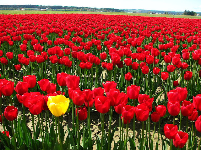 Field of red tulips with one yellow tulip