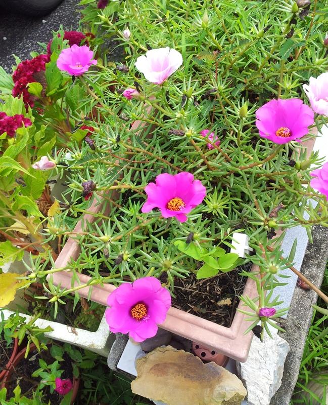 85+ Gambar Bunga Ros Jepun Terbaru