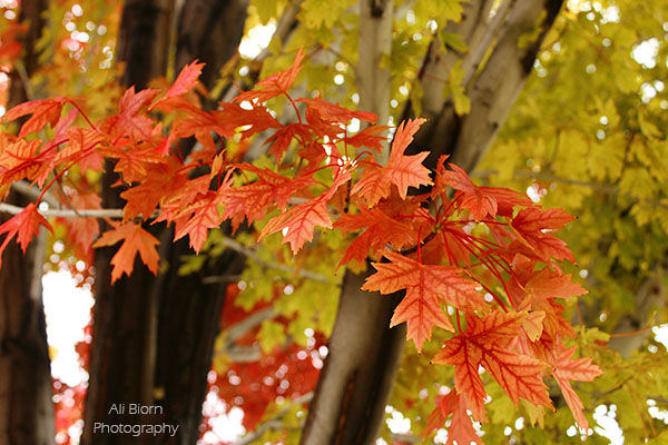 colorful red leaves on the tree in fall