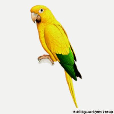 Cotorra amarilla: Guaruba guarouba
