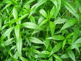 Daun sambiloto dalam bahasa latin disebut dgn nama Andrographis paniculata Manfaat dan Manfaat Daun Sambiloto bagi Kesehatan