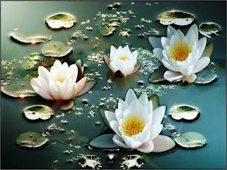 Contoh Bunga Teratai Putih Di Permukaan Air_Lotus Flower Picture