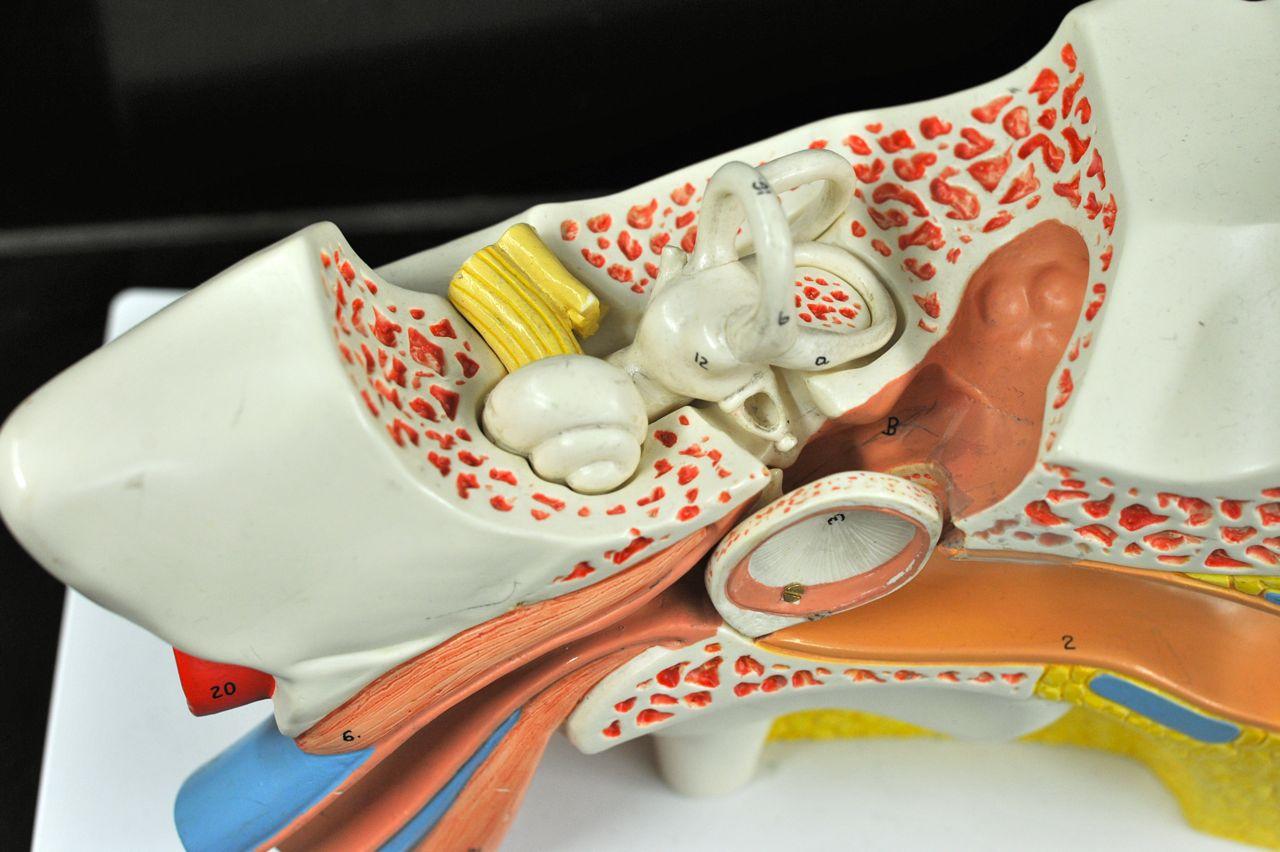 Human Anatomy Lab Ear Models