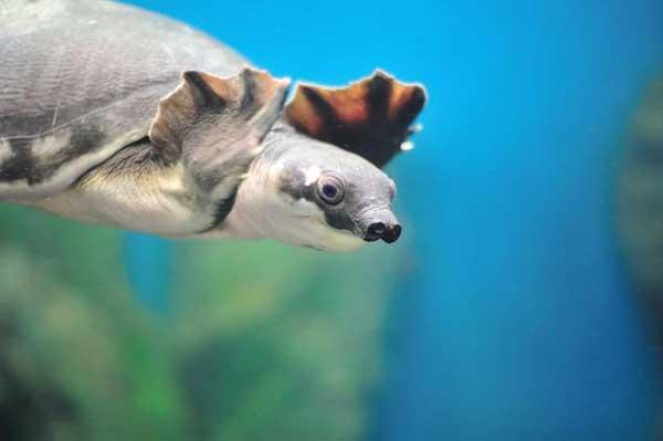 Tartaruga nariz de porco
