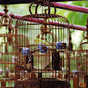 Peluang Bisnis Burung Pipit: Pasar Bisnis Terbuka, Laba Belasan Juta
