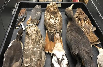 bird study skins royal ontario museum