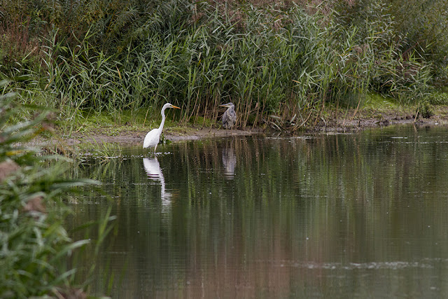 Great White Egret and Grey Heron