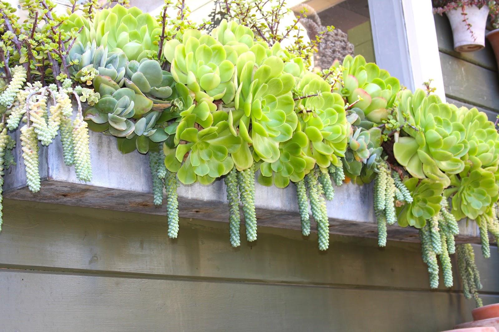 Suculentas en jardineras de ventana guia de jardin for Plantas suculentas colgantes