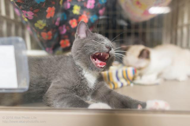 西国分寺シェルター、ケージの中であくびをしている灰色の猫