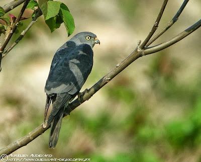 Gavilán ranero Accipiter soloensis