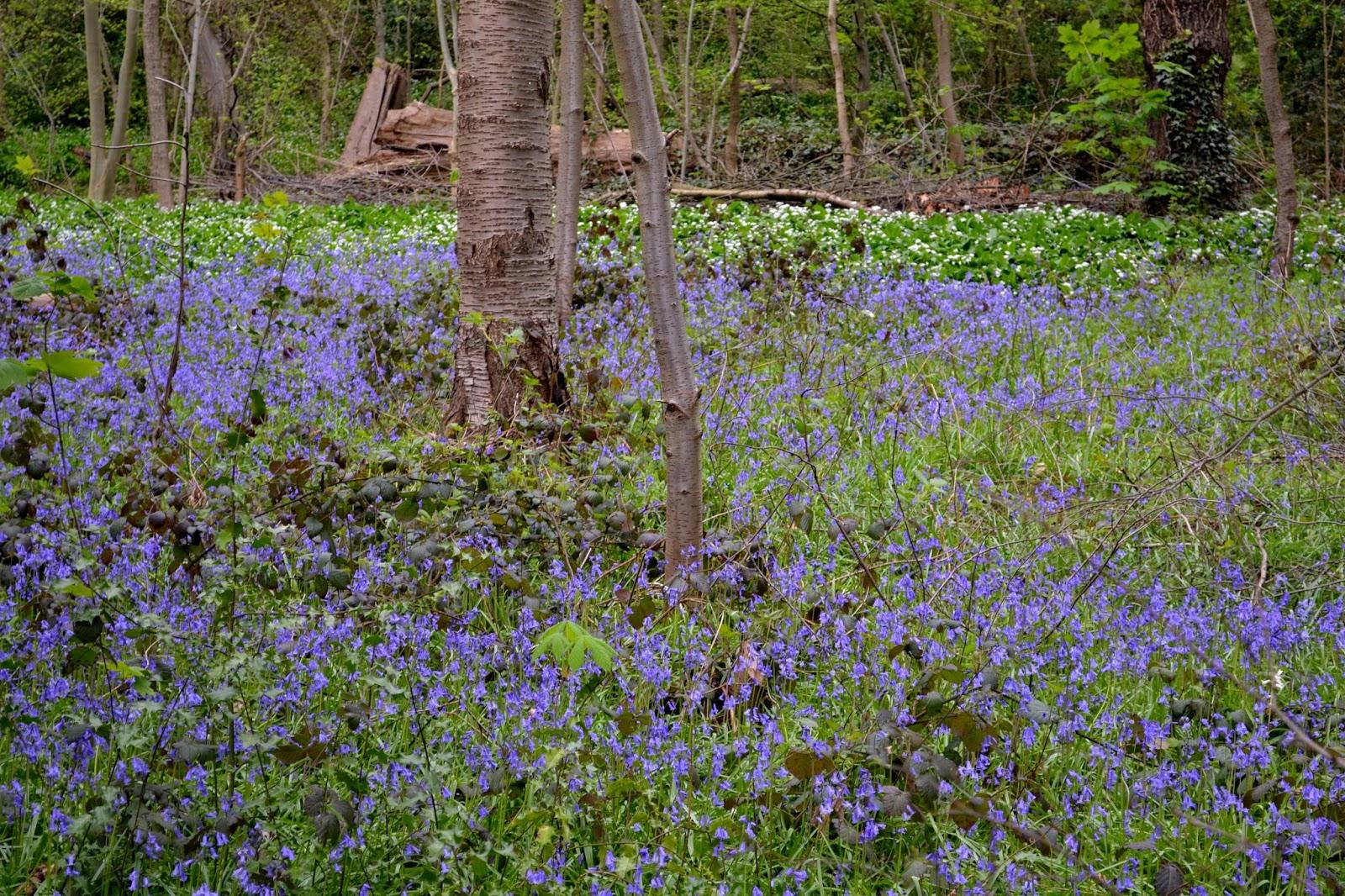 Just An Essex Lad Bluebells Wood Anemone And Wild Garlic Inm