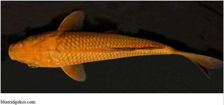 Gambar Ikan Koi Chagoi