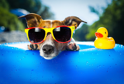 cute dog in a pool, wearing sunglasses.  Rubber ducky next to dog.