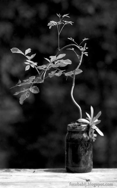 http://fotobabij.blogspot.com/2015/08/bonsai-czb-a.html