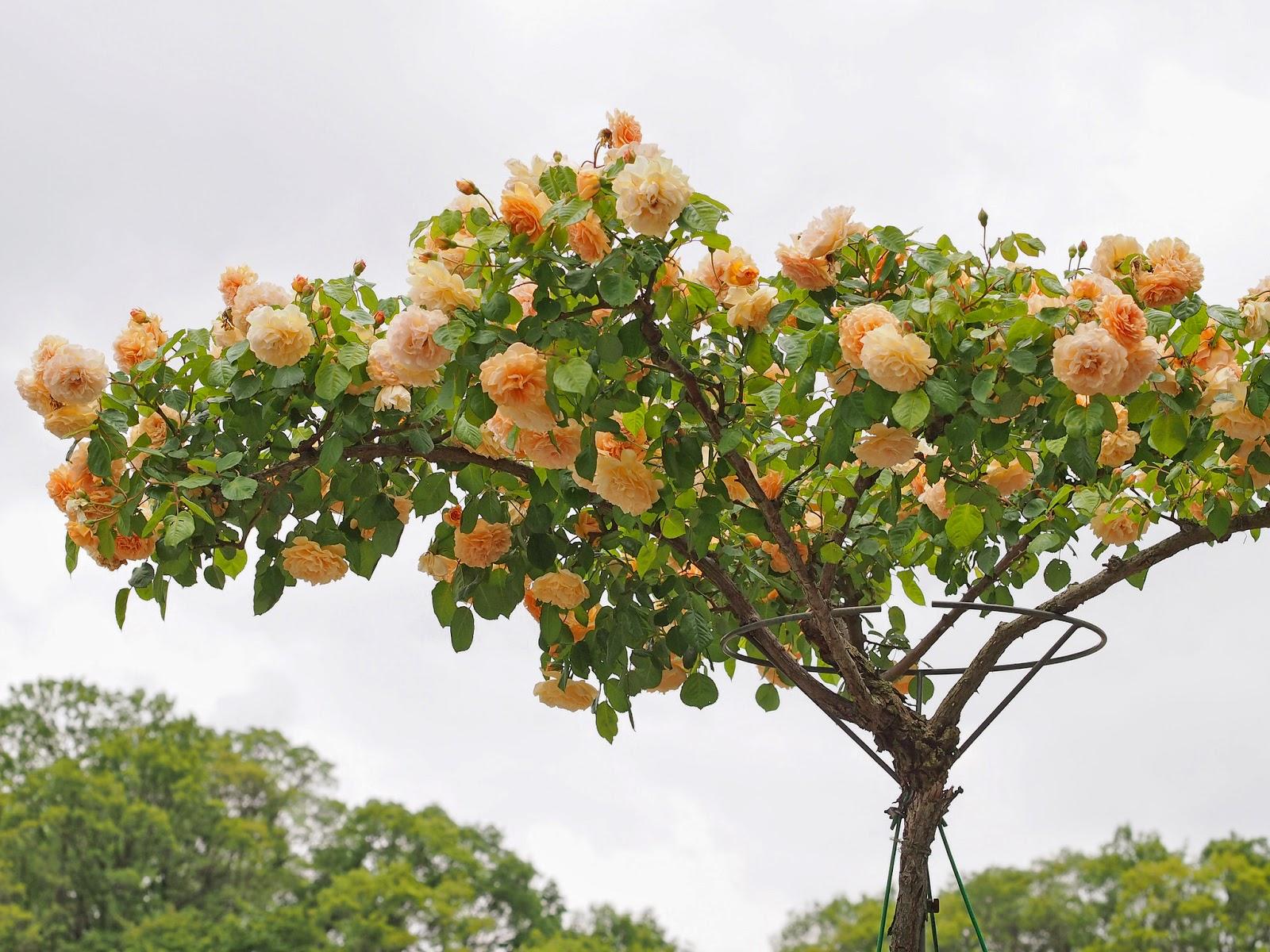 árbol de rosas