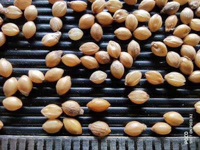 Close-up photo of Foxtail Millet grains.