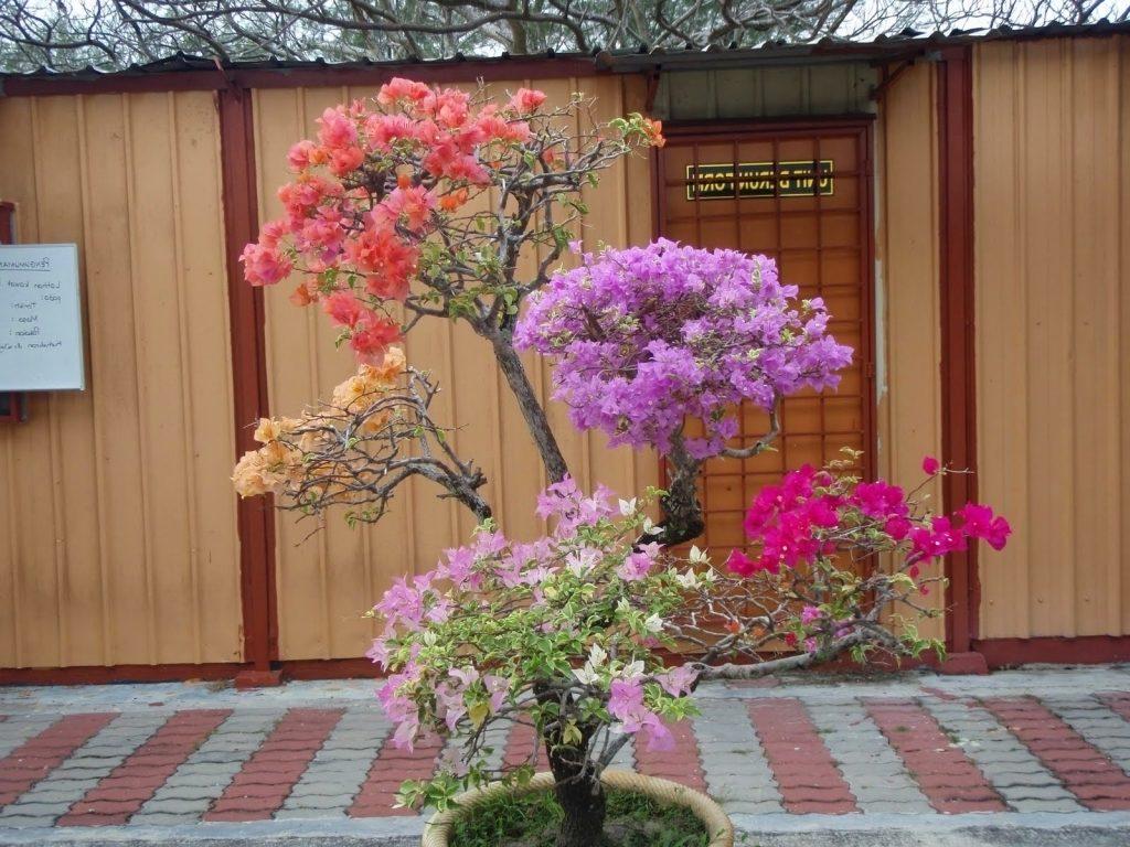 Bonsai Bunga Kertas atau Bougenville Chrysogonum