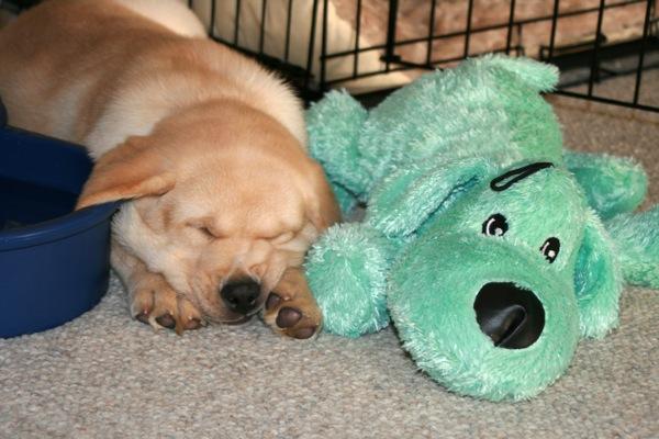 Sleeping 8 week old Labrador puppy
