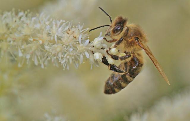 Συναγερμός στην Ε.Ε: Δημόσια διαβούλευση σχετικά με δράσεις για την παύση της μείωσης των μελισσών και άλλων επικονιαστών