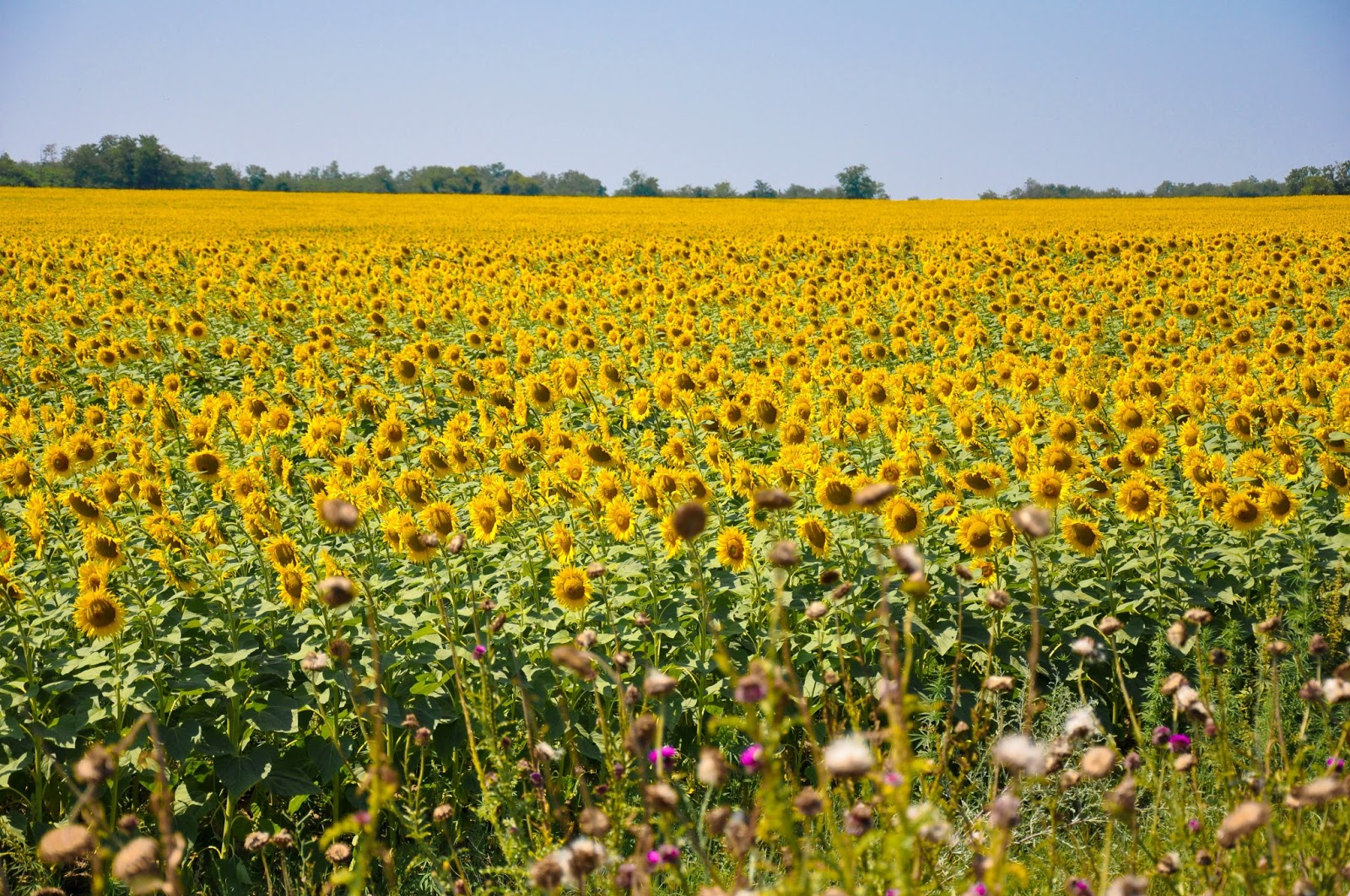 Sunflower field, Varna, Bulgaria
