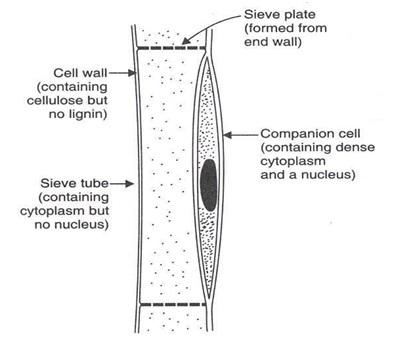 Mech anism3 - पौधों में परिसंचरण तंत्र की क्रियाविधि