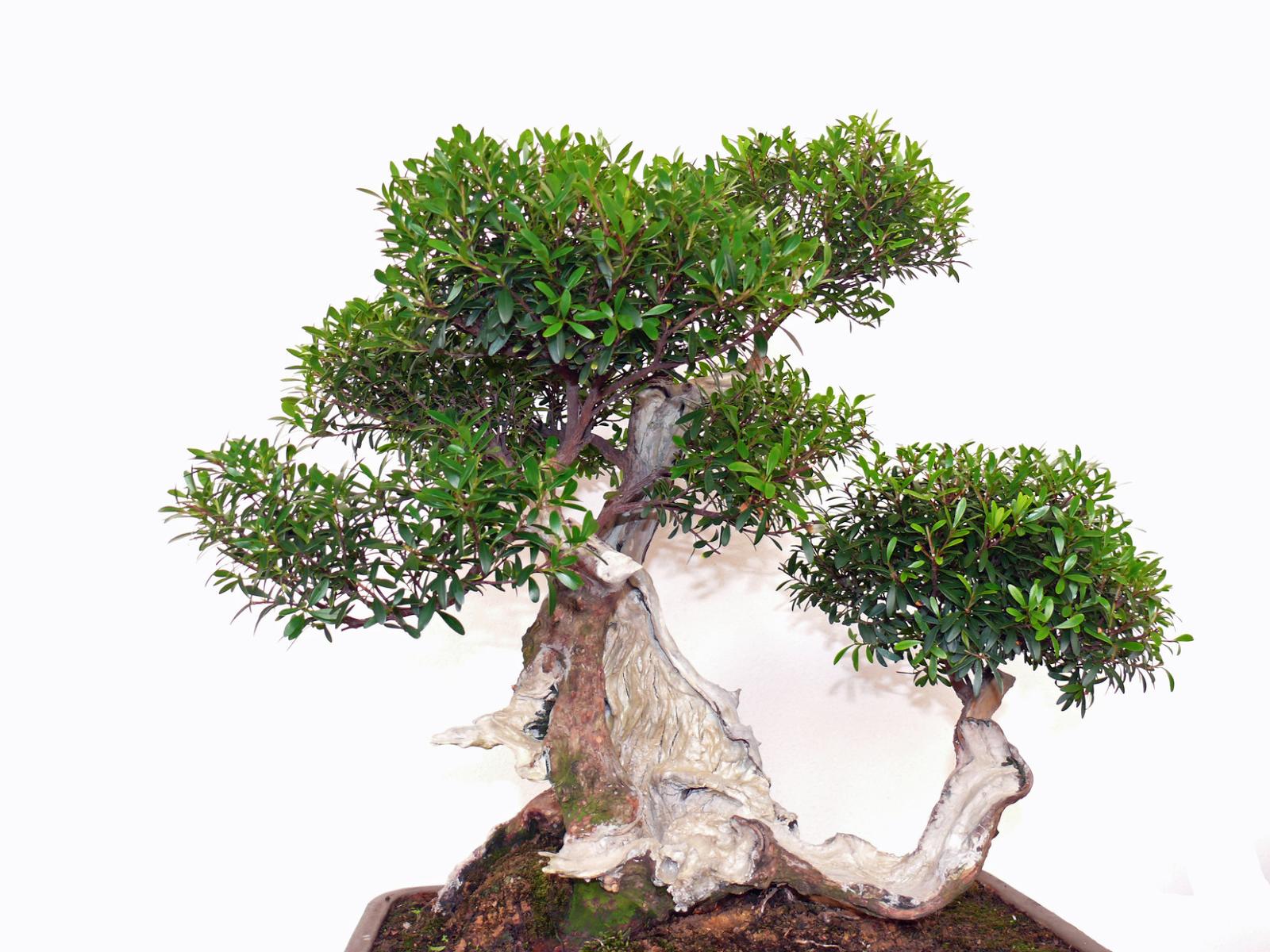 Bonsai Tree 24 Astonishing Bonsai Trimmer Ideas