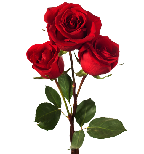 Docere Et Delectare La Rosa Roja