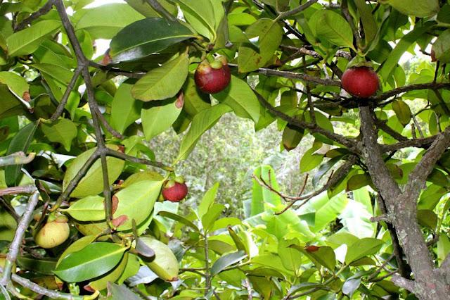 Cây Măng Cụt - Garcinia mangostana - Nguyên liệu làm thuốc Chữa Bệnh Đi lỏng-Đau Bụng