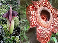 4 Perbedaan Bunga Bangkai dan Raflesia
