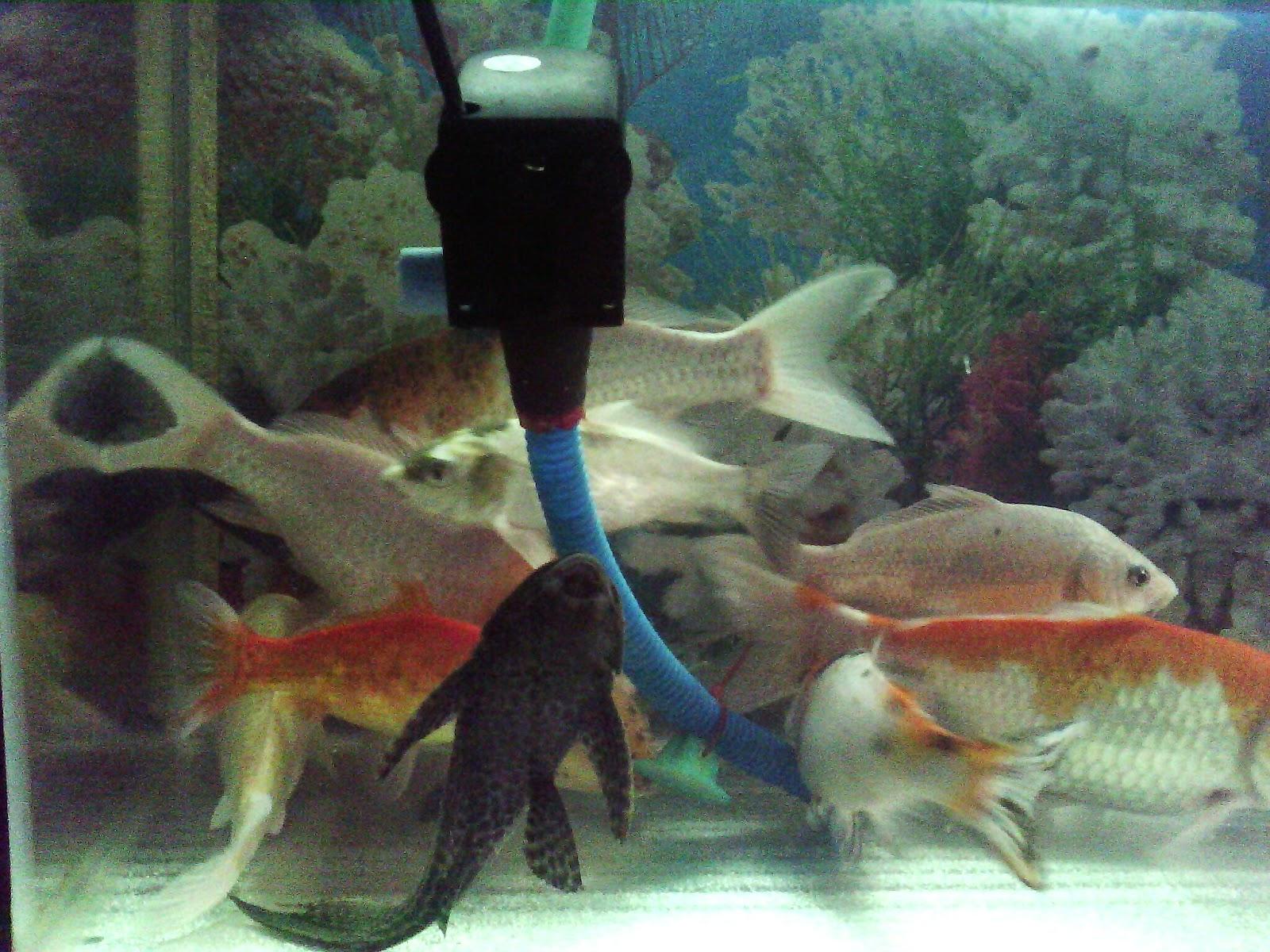 Gambar Ikan Koi Dalam Aquarium