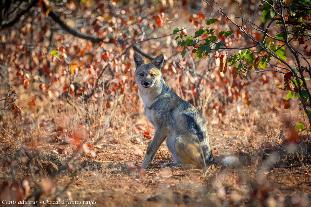 Canis adustus - Chacal à flancs rayés