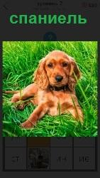 порода собаки спаниель
