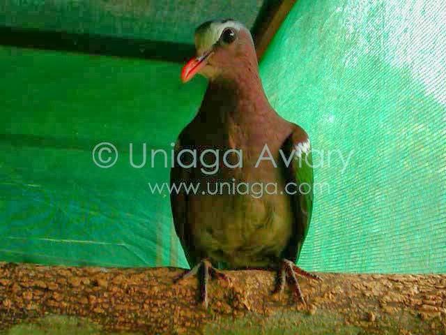 Burung Punai Tanah Uniaga Aviary