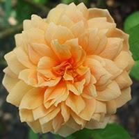 Grace (Rosa Inglese)