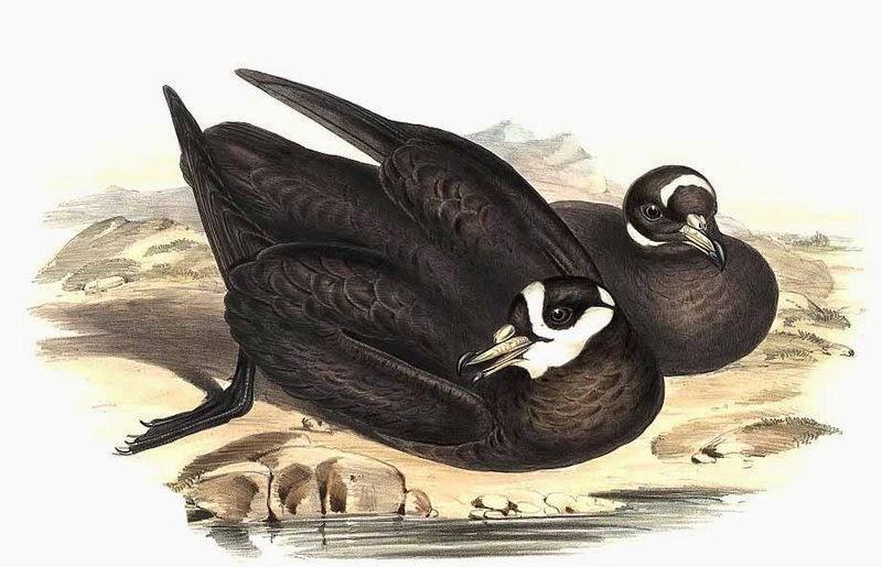 aves del mar argentino Petreles y albatros