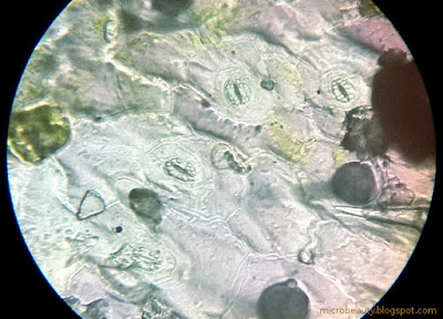 Leaf surface. Stomata. Magnification - 450 Times.