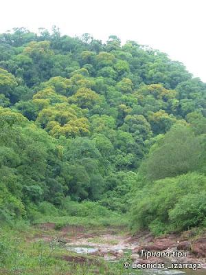 Tipa Tipuana tipu