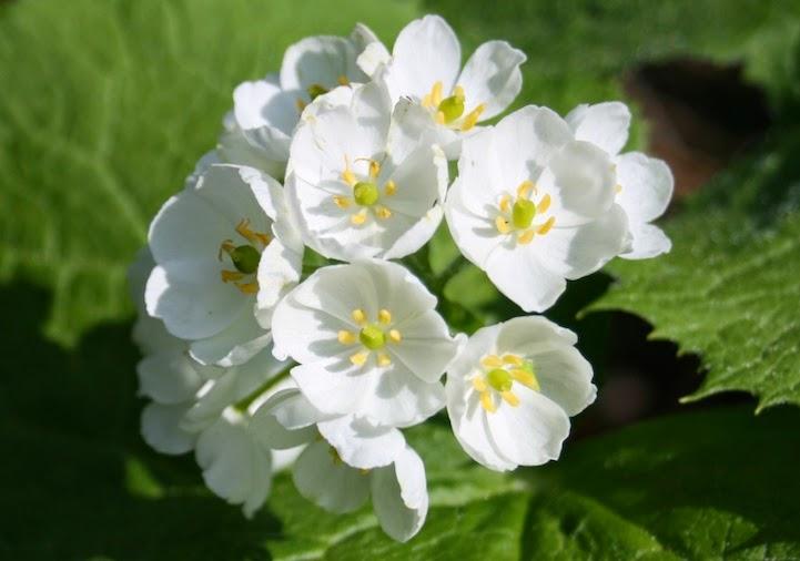 78 Diphylleia grayi, Bunga Ini Akan Berubah Transparan Jika Terkena Air