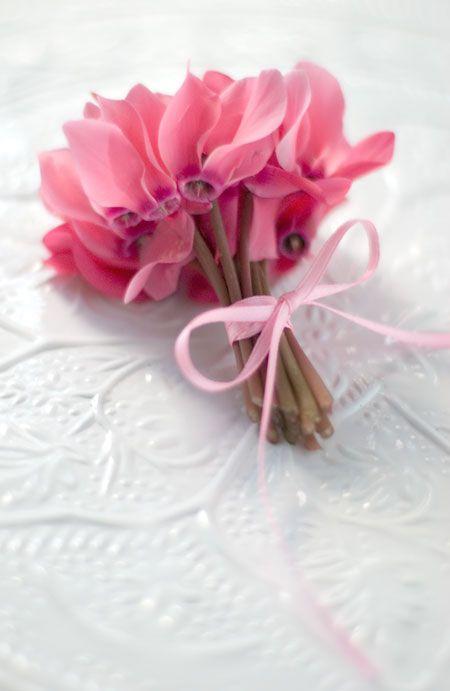 ciclamini-rosa